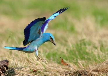 Dobri rezultati monitoringa ptičje vrste Zlatovrane na Ulcinjskoj solani